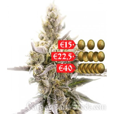 Купить семена Carpathian Molfar Auto Fem