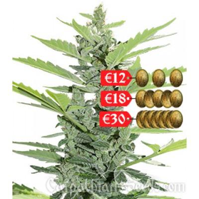 Купить семена Sinevir Auto Fem