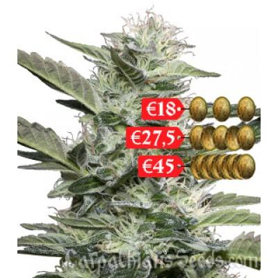 Купить семена White Chere Auto Fem