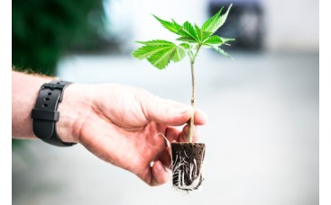 Как лучше начать выращивание из клонов или семян?