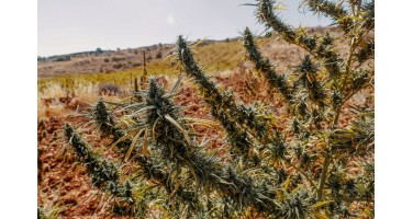 Виды и разновидности марихуаны