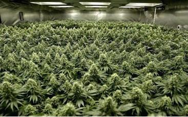 Урожайность семян марихуаны