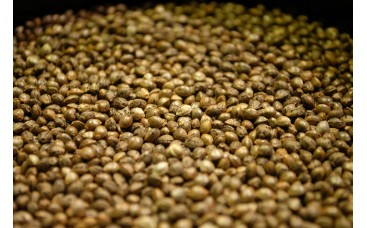 Как правильно хранить семена конопли