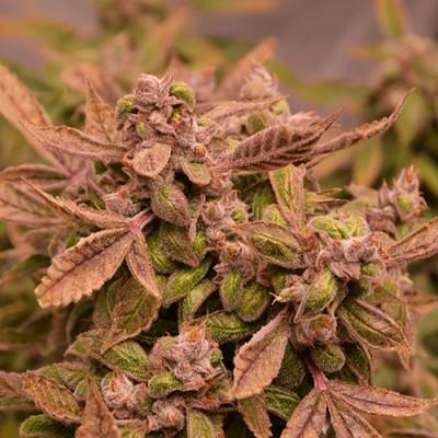 Купить семена Orange Bud Auto Fem